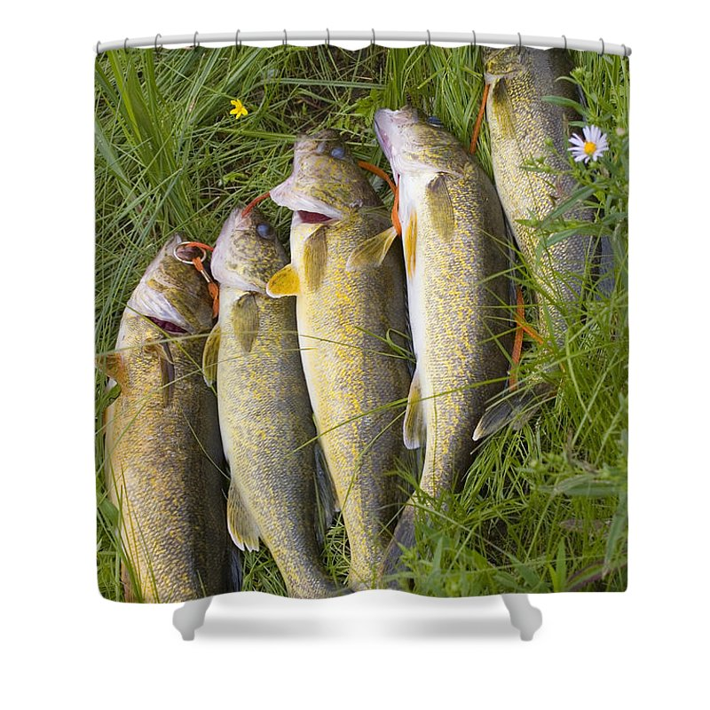 Detail Shower Curtain Featuring The Photograph A String Of Freshly Caught Walleye Fish By Skip Brown