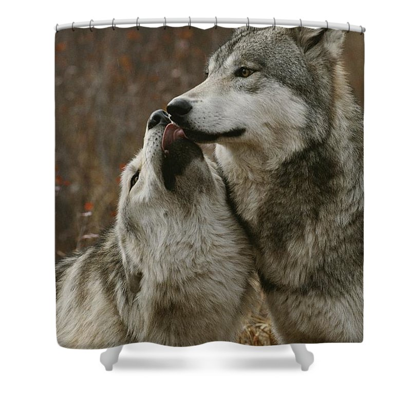 Subject Shower Curtain featuring the photograph A Submissive Beta Gray Wolf, Canis by Jim And Jamie Dutcher