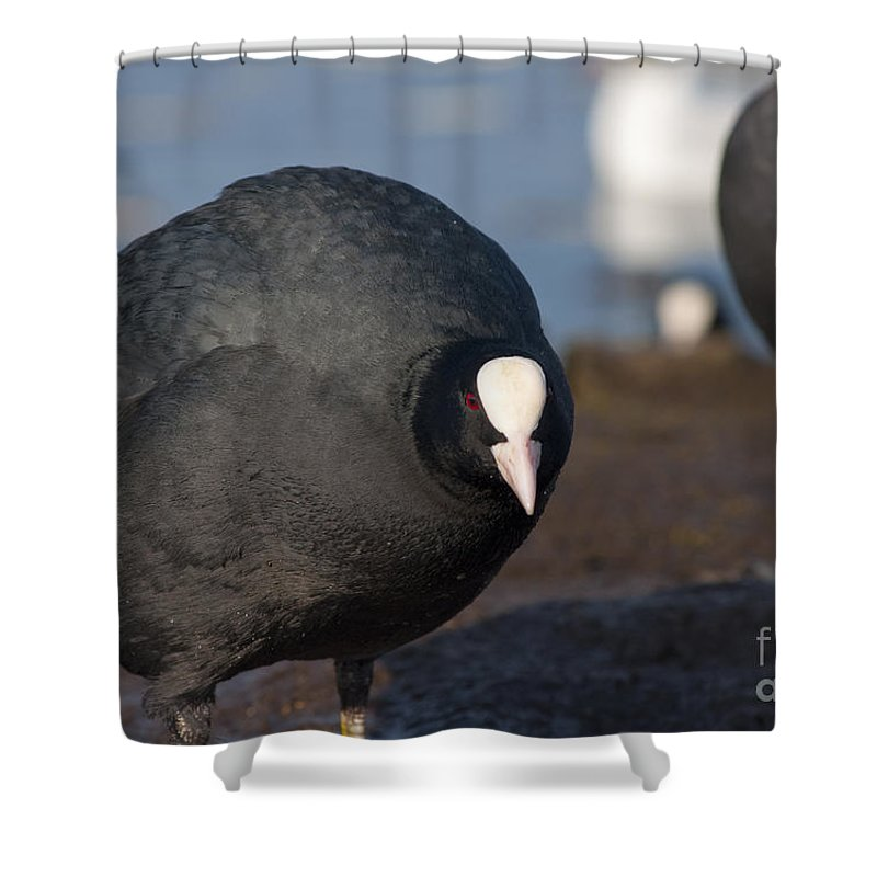 American Shower Curtain featuring the photograph American Coot by Andrew Michael