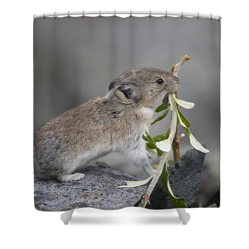 Mp Shower Curtain featuring the photograph American Pika by Michael Quinton