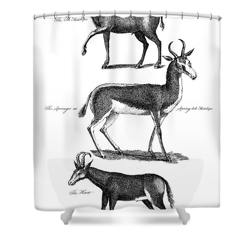 1791 Shower Curtain featuring the photograph Antelopes by Granger