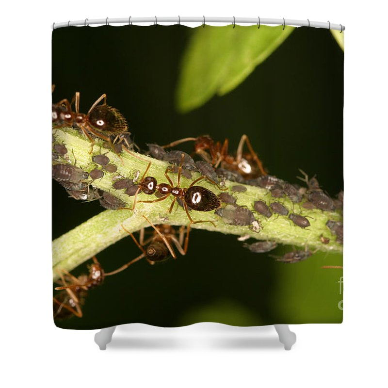Animal Shower Curtain featuring the photograph Ants Tending Aphids by Ted Kinsman