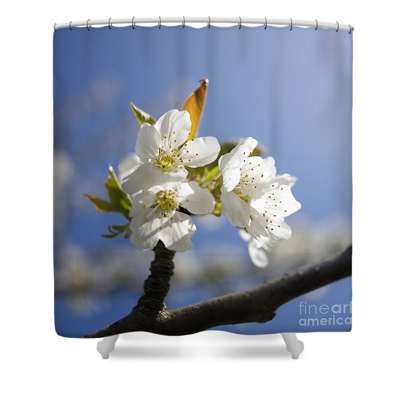 Trees Shower Curtain featuring the photograph Apple Blossom by Bernard Jaubert