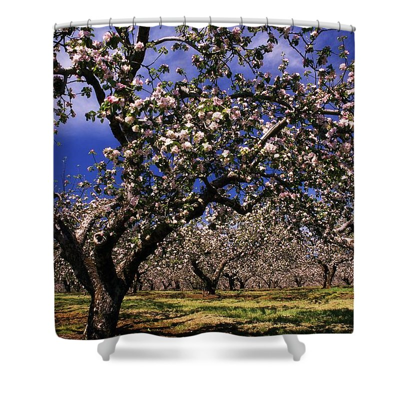 Apple Orchard Shower Curtain featuring the photograph Apple Trees In An Orchard, County by The Irish Image Collection