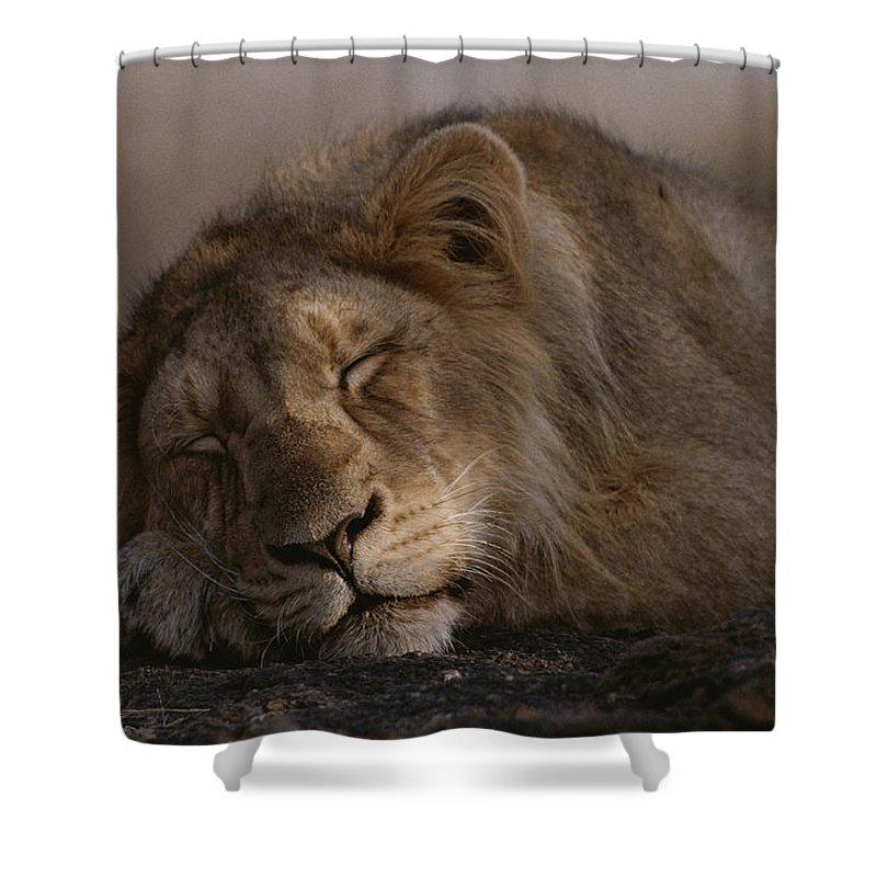 Asia Shower Curtain featuring the photograph Asian Lion Panthera Leo Persica by Mattias Klum