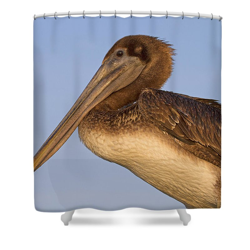 Pelican Shower Curtain featuring the photograph Augustine Brown by Betsy Knapp