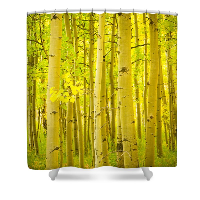 Autumn Shower Curtain featuring the photograph Autumn Aspens Vertical Image by James BO Insogna