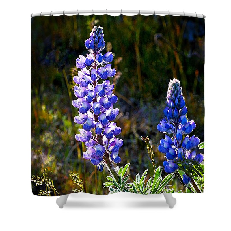 Flower Shower Curtain featuring the photograph Back Lit Lupine by Jean Noren