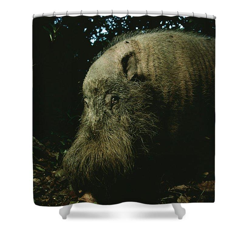 Borneo Island Shower Curtain featuring the photograph Bearded Swine Sus Barbatus by Mattias Klum