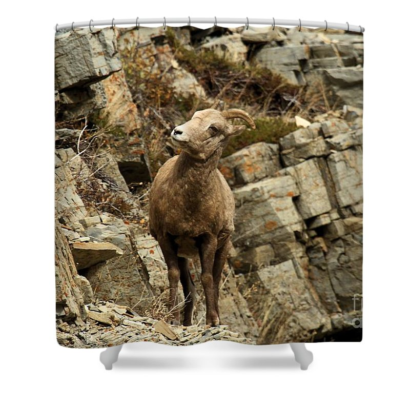 Big Horn Sheep Shower Curtain featuring the photograph Big Horn On The Rocks by Adam Jewell