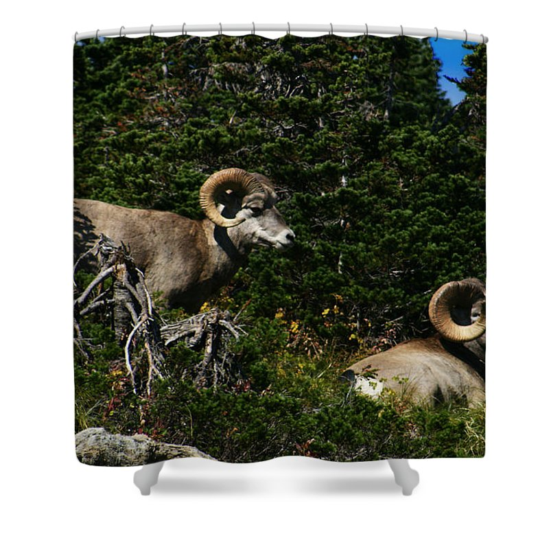 Big Horn Sheep Shower Curtain featuring the photograph Big Horn Sheep Glacier National Park by Benjamin Dahl