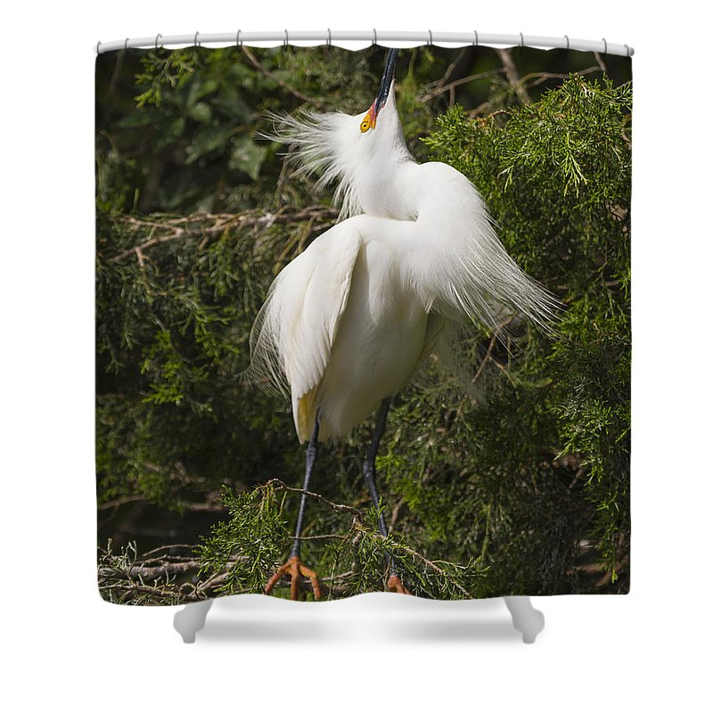 Bird Behavior Shower Curtain featuring the photograph Bird Mating Display - Snowy Egret by Bill Swindaman