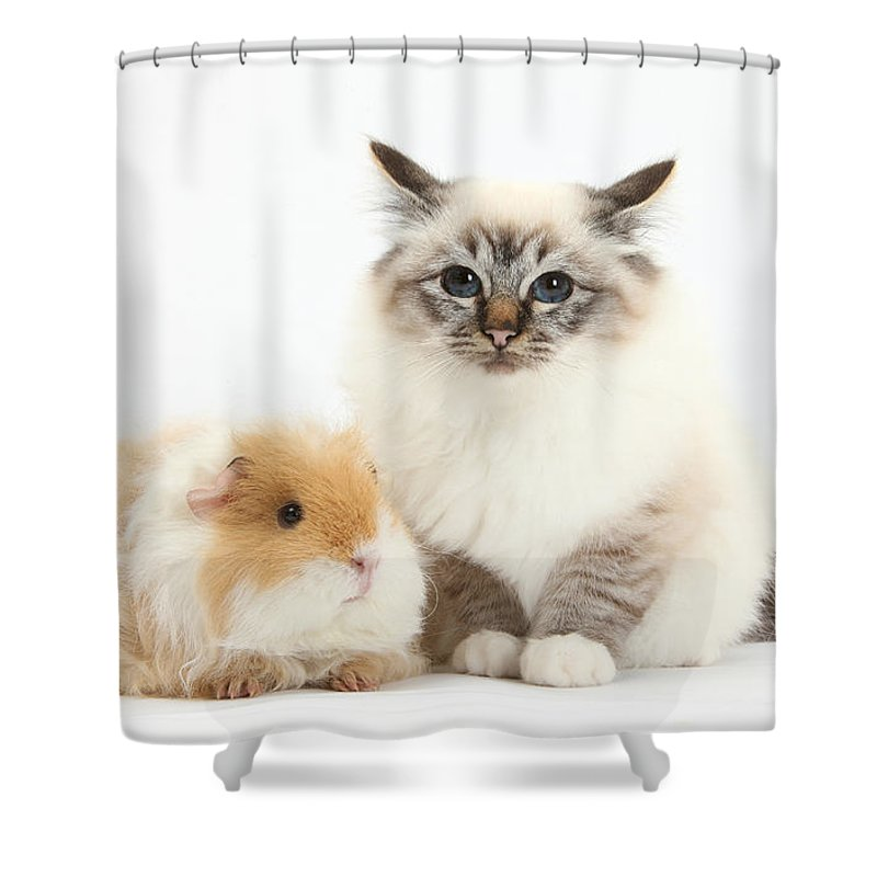 Nature Shower Curtain featuring the photograph Birman Cat And Frizzy Guinea Pig by Mark Taylor