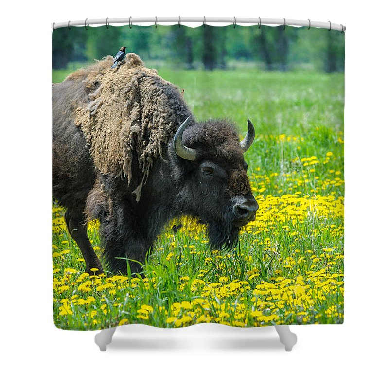 Mormon Row Shower Curtain featuring the photograph Bison And Friend by Charlie Choc