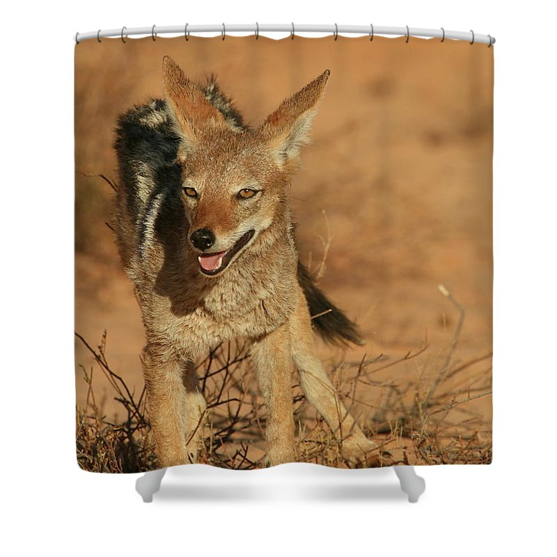 Africa Shower Curtain featuring the photograph Black-backed Jackal by Bruce J Robinson