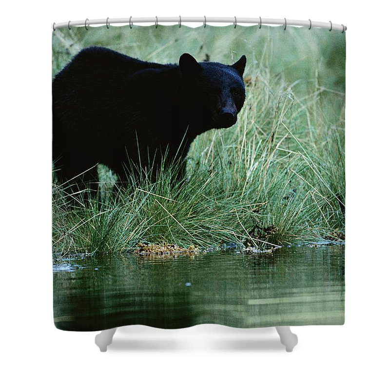 North America Shower Curtain featuring the photograph Black Bear Ursus Americanus by Raymond Gehman