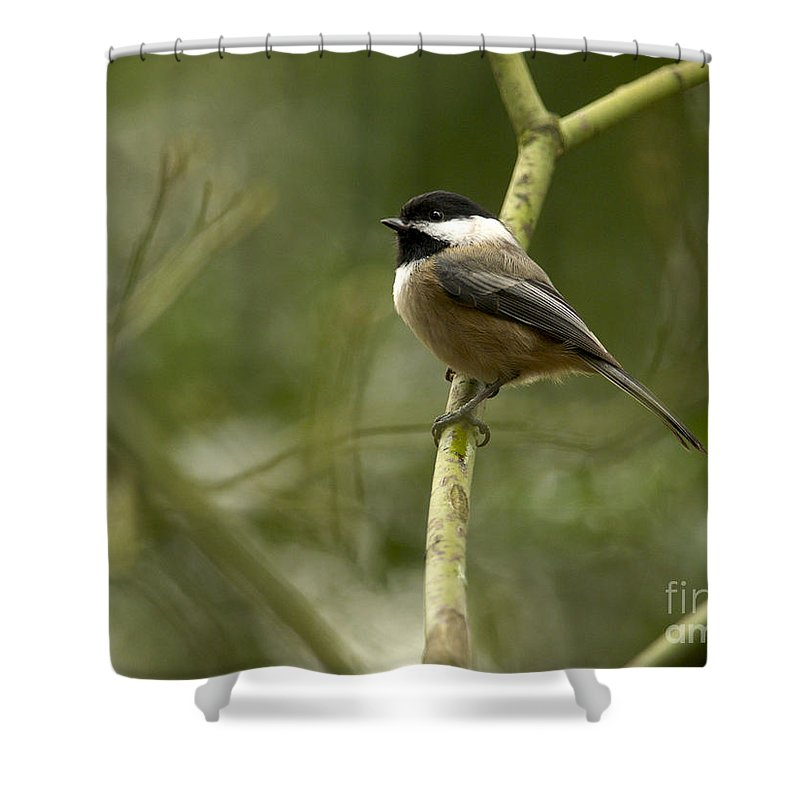 Black-capped Chickadee Shower Curtain featuring the photograph Black-capped Chickadee With Branch Bokeh by Sharon Talson