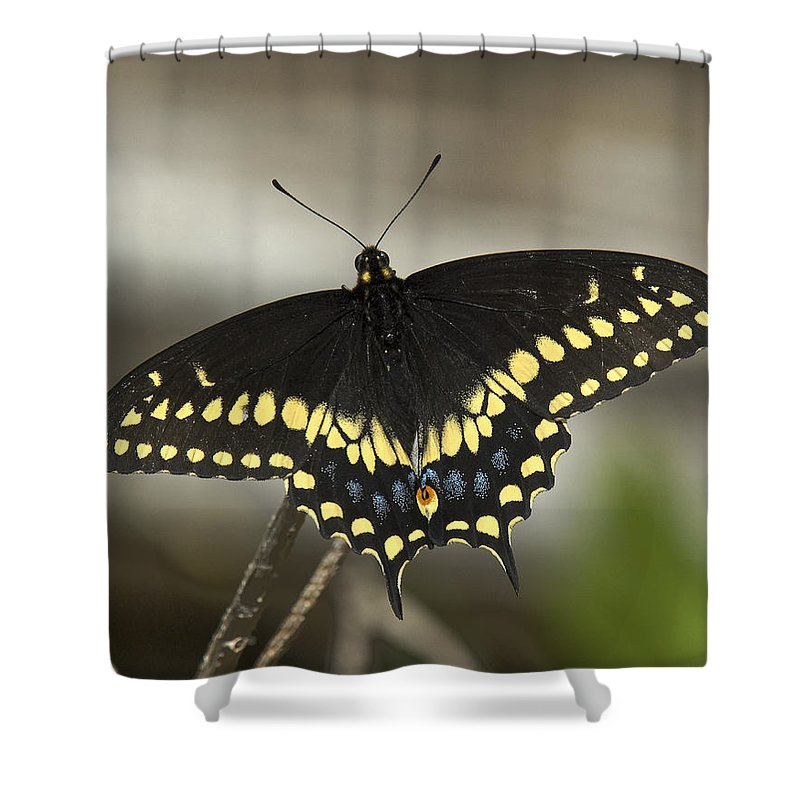 Insect Shower Curtain featuring the photograph Black Swallowtail Din103 by Gerry Gantt