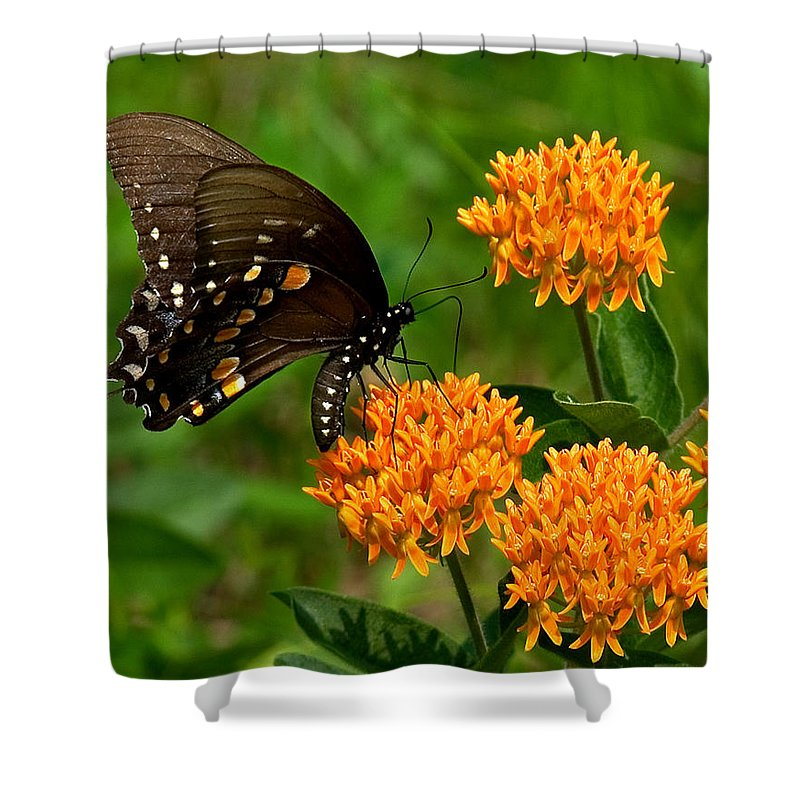 Insect Shower Curtain featuring the photograph Black Swallowtail Visiting Butterfly Weed Din012 by Gerry Gantt