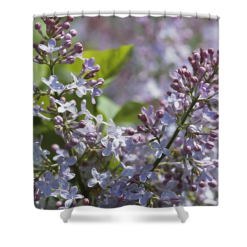 North America Shower Curtain featuring the photograph Blossoming Hyacinthiflora Lilacs by Darlyne A. Murawski