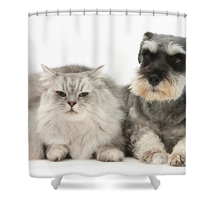 Dog Shower Curtain featuring the photograph Blue-point Kitten & Miniature Schnauzer by Mark Taylor