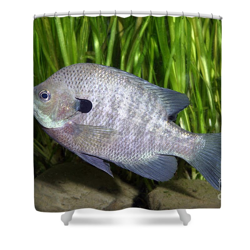 Freshwater Shower Curtain featuring the photograph Bluegill Lepomis Macrochirus by Ted Kinsman
