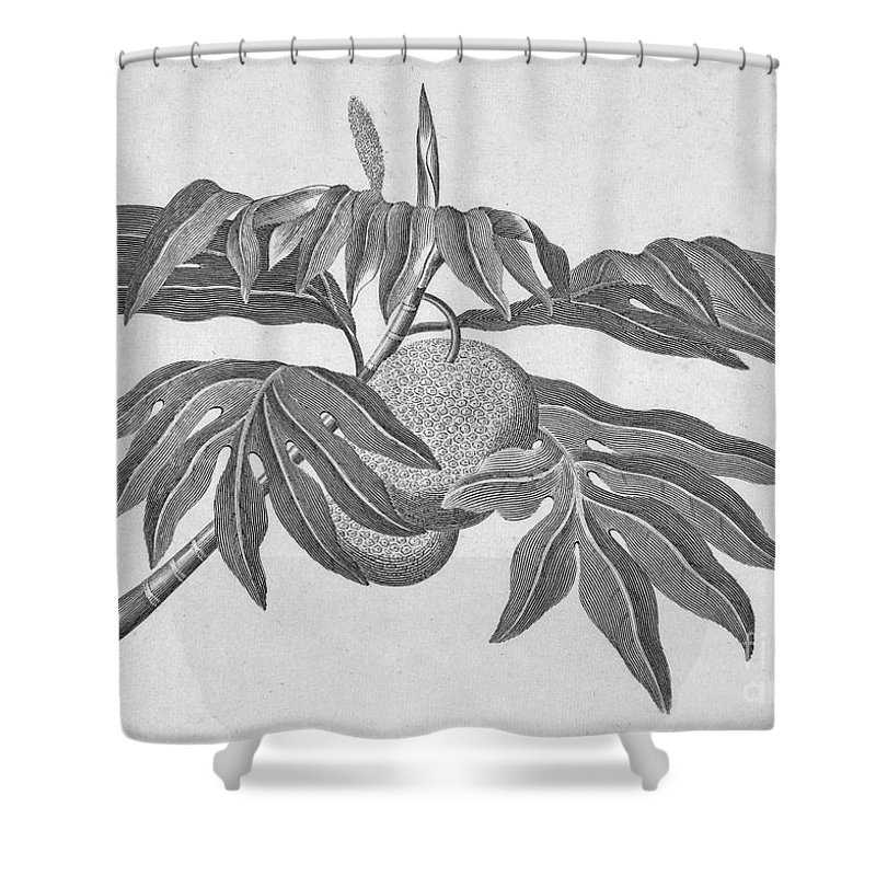 18th Century Shower Curtain featuring the photograph Botany: Breadfruit Tree by Granger