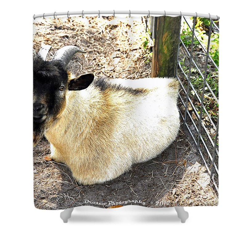 Mammal Shower Curtain featuring the photograph Brown Goat by G Adam Orosco
