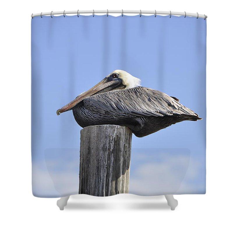 Bird Shower Curtain featuring the photograph Brown Pelican 2 by Rich Bodane