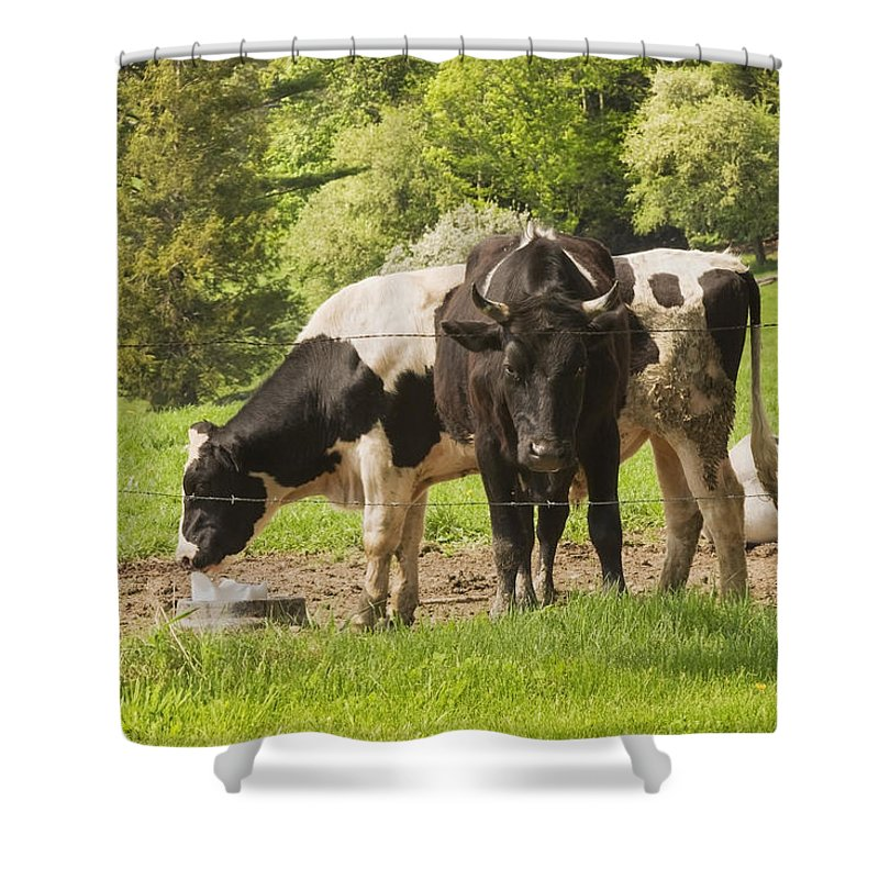 Cow Shower Curtain featuring the photograph Bull And Cows Grazing On Grass In Farm Maine by Keith Webber Jr