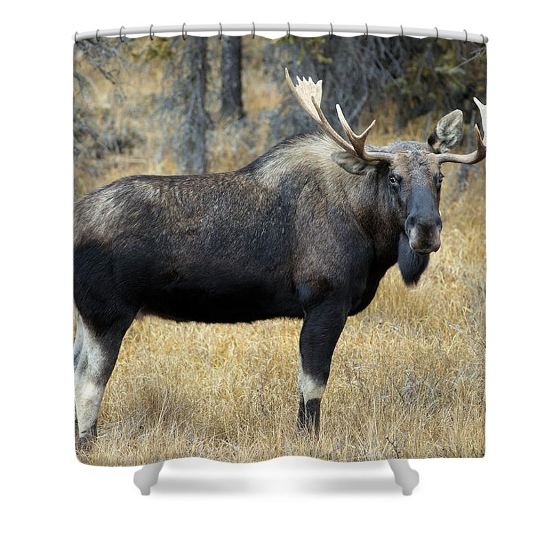 Light Shower Curtain featuring the photograph Bull Moose, Peter Lougheed Provincial by Darwin Wiggett