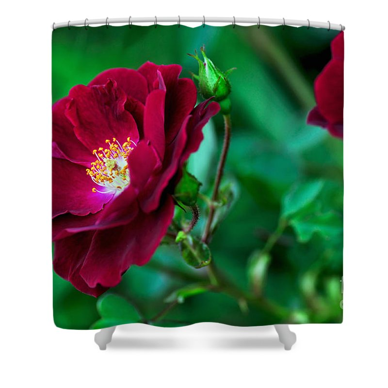 Photography Shower Curtain featuring the photograph Burgundy Iceberg Rose by Kaye Menner