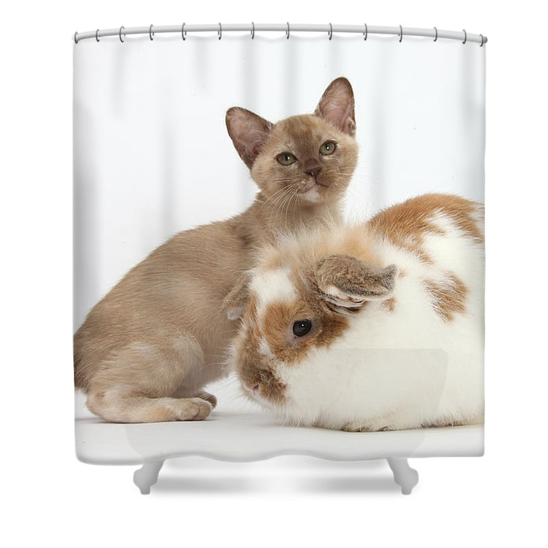 Nature Shower Curtain featuring the photograph Burmese Kitten And Rabbit by Mark Taylor