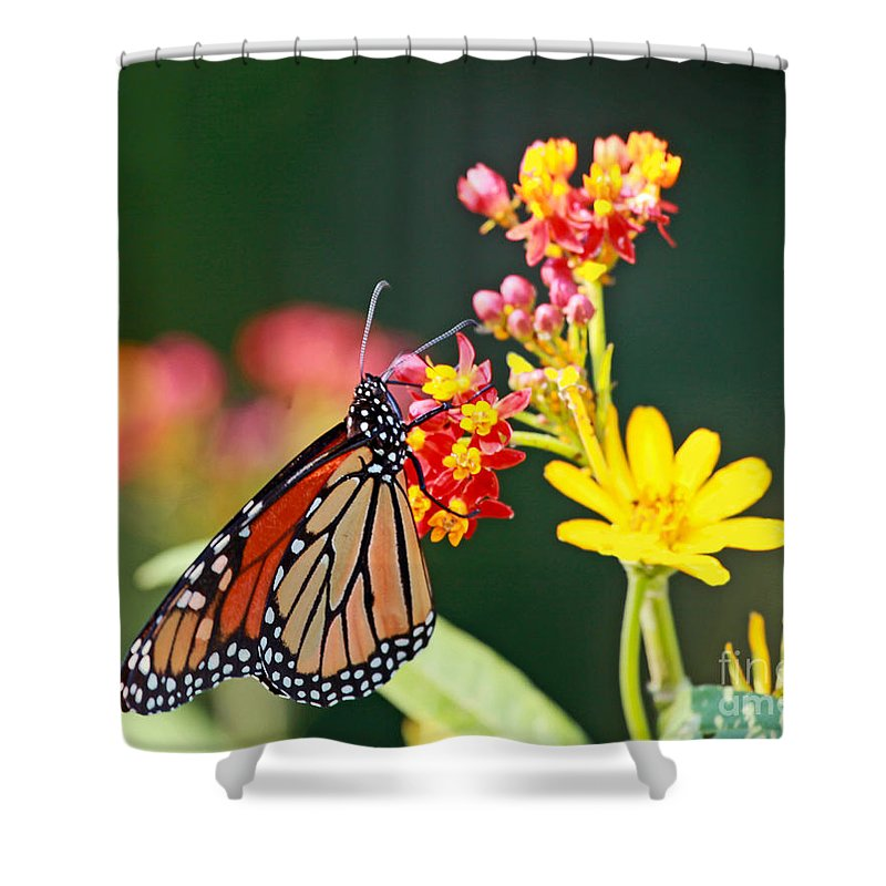 Butterfly Shower Curtain featuring the photograph Butterfly Monarch On Lantana Flower by Luana K Perez
