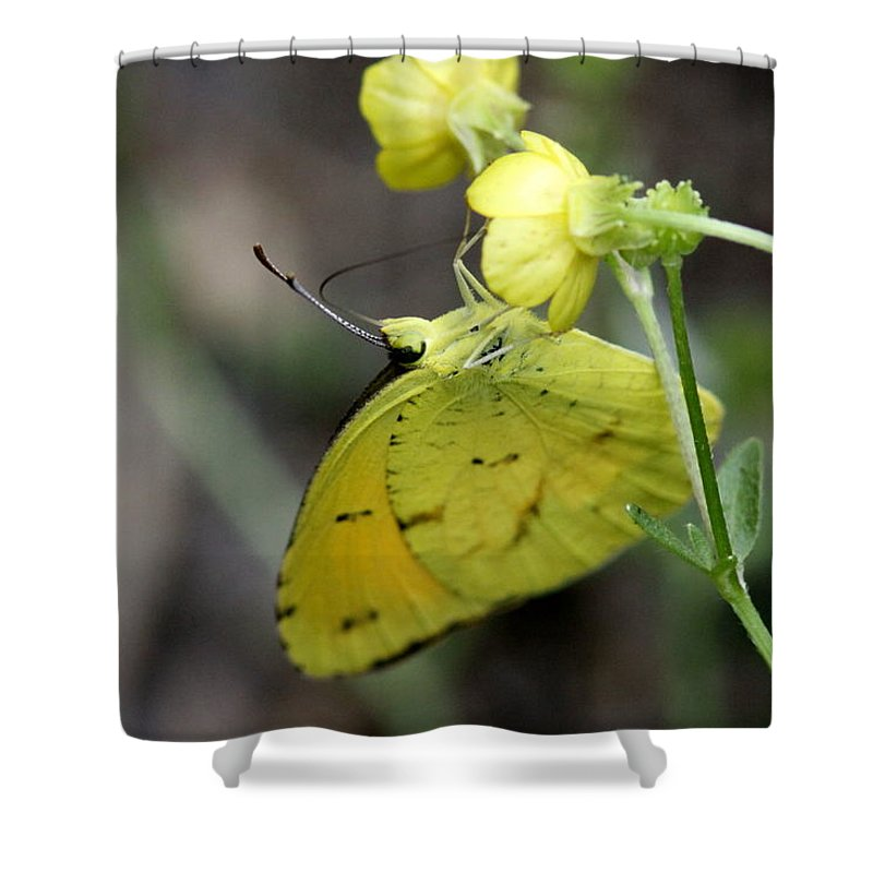 Cabbage Yellow Shower Curtain featuring the photograph Butterfly - Yellow Sulphur On Yellow by Travis Truelove