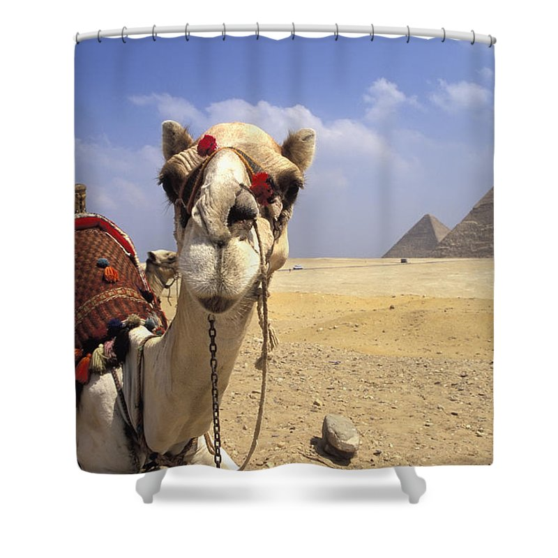 Animal Head Shower Curtain featuring the photograph Camel In Giza Egypt by Axiom Photographic