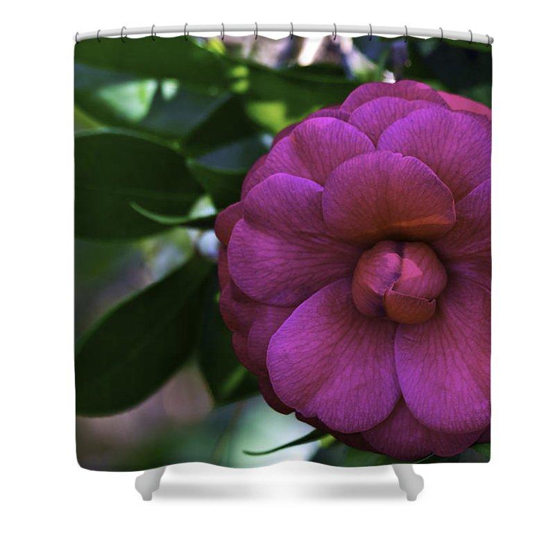 Camellia Shower Curtain featuring the photograph Camellia Twenty by Ken Frischkorn
