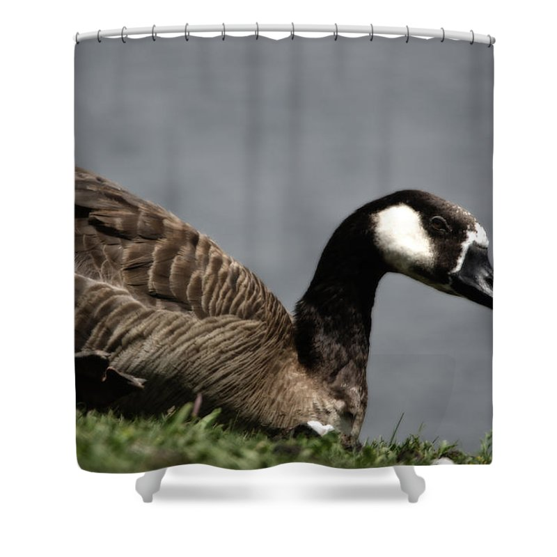 Bird Shower Curtain featuring the photograph Canadian Goose by Donna Greene