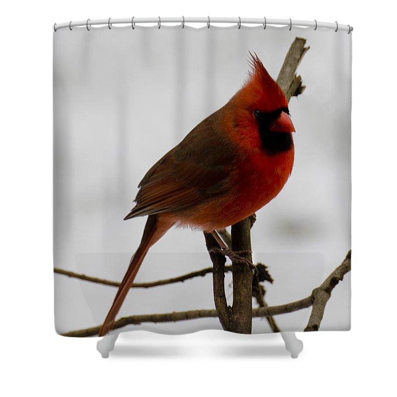 Usa Shower Curtain featuring the photograph Cardinal In The Snow by LeeAnn McLaneGoetz McLaneGoetzStudioLLCcom