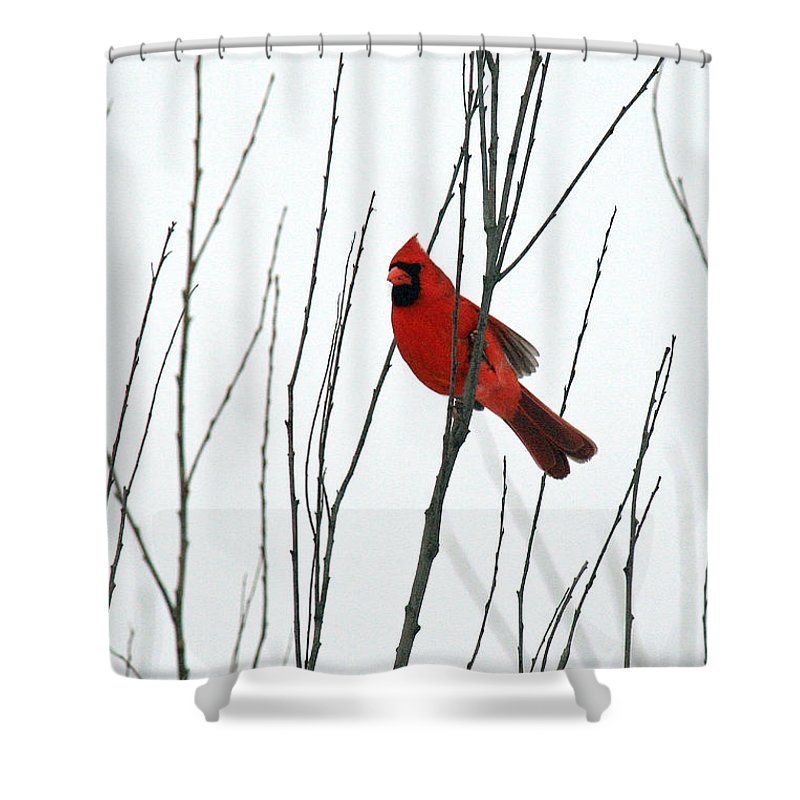 Cardinal Shower Curtain featuring the photograph Cardinal In Willow by Crystal Heitzman Renskers