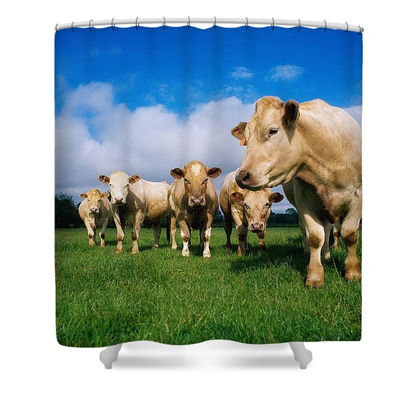 Animals Shower Curtain featuring the photograph Cattle, Charolais by The Irish Image Collection
