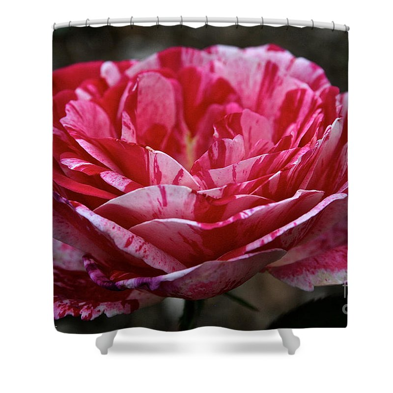 Outdoors Shower Curtain featuring the photograph Cherry Chip Scentimental by Susan Herber
