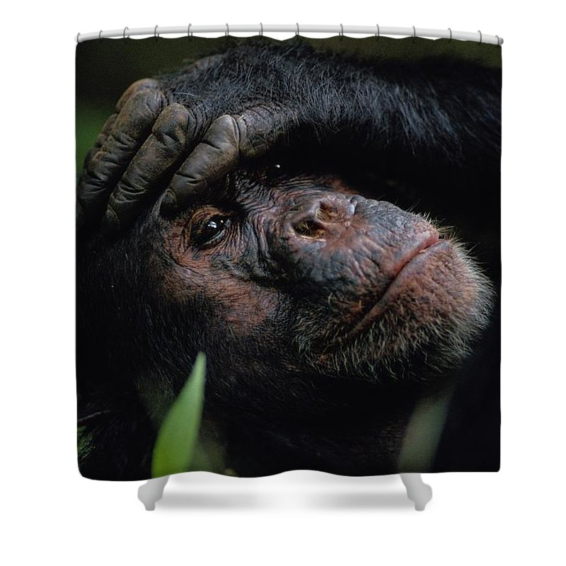 gombe Stream National Park Shower Curtain featuring the photograph Chimpanzees, As Reported By Jane by Michael Nichols