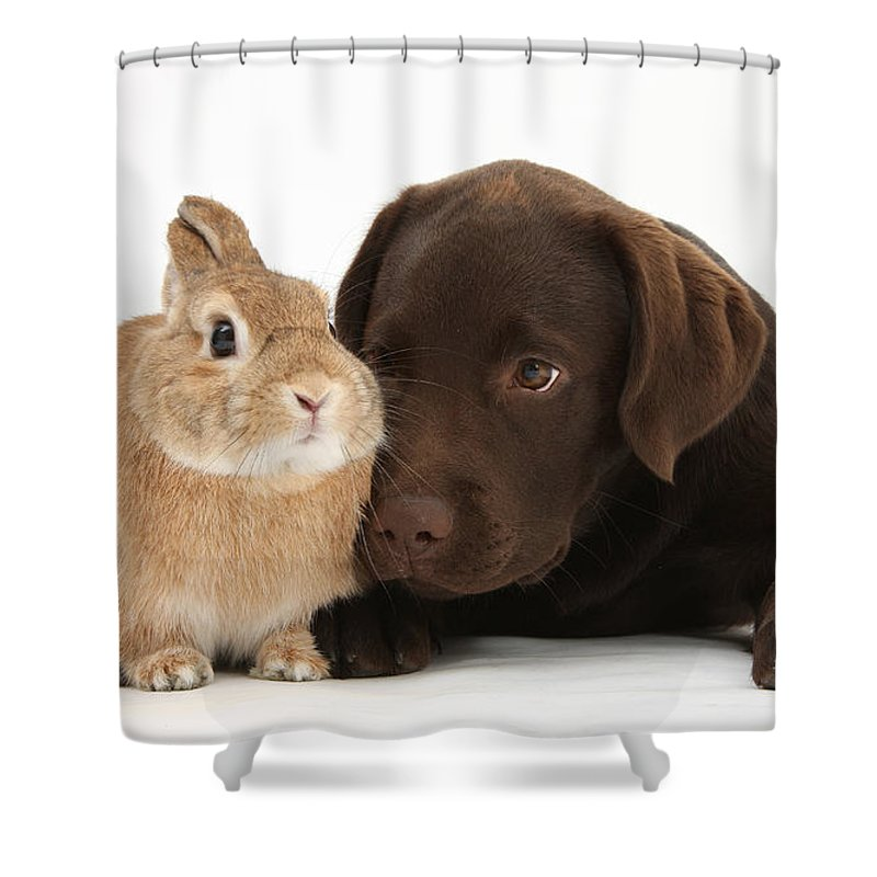 Nature Shower Curtain featuring the photograph Chocolate Labrador Pup by Mark Taylor