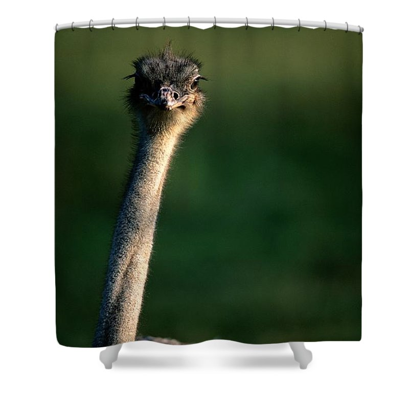 North America Shower Curtain featuring the photograph Close View Of An Ostrich Struthio by Joel Sartore