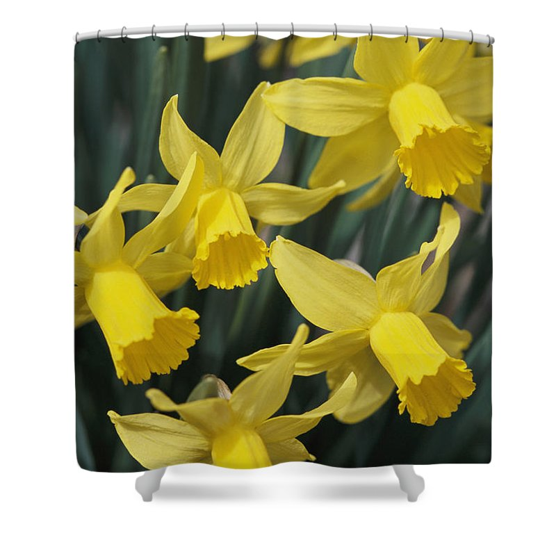 North America Shower Curtain featuring the photograph Close View Of Early Spring Daffodils by Darlyne A. Murawski