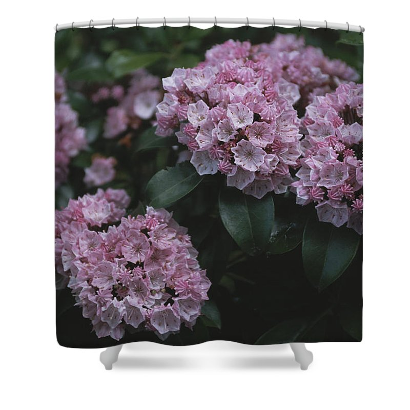 North America Shower Curtain featuring the photograph Close View Of Flowering Mountain Laurel by Darlyne A. Murawski