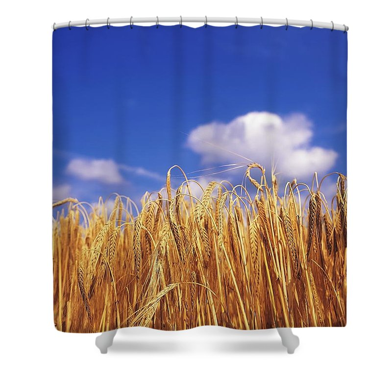 Barley Shower Curtain featuring the photograph Co Carlow, Ireland Barley by The Irish Image Collection