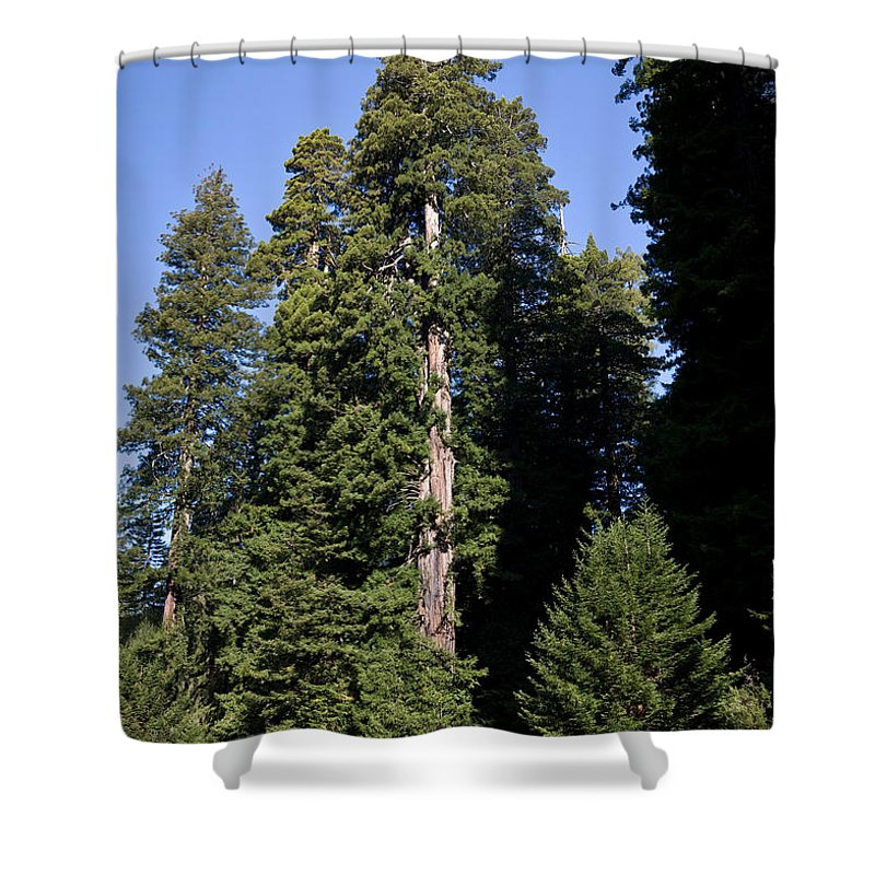 Plant Shower Curtain featuring the photograph Coast Redwood by Gregory G Dimijian MD