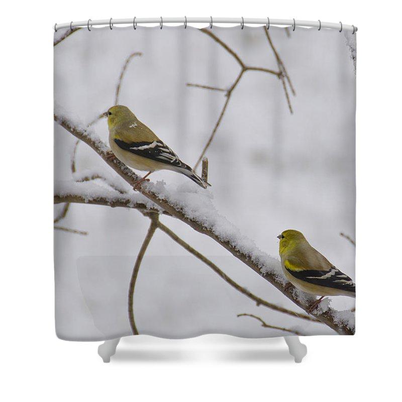 Usa Shower Curtain featuring the photograph Cold Yellow Finch Walk by LeeAnn McLaneGoetz McLaneGoetzStudioLLCcom